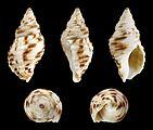 Burnupena pubescens 01.JPG