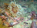 Burrowing anemone at Vogelsteen DSC03196.JPG