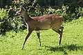 Bushbuck (Tragelaphus sylvaticus) (36560253394).jpg