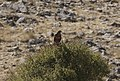 Buteo buteo - Common buzzard, Malatya 2018-09-27 03.jpg