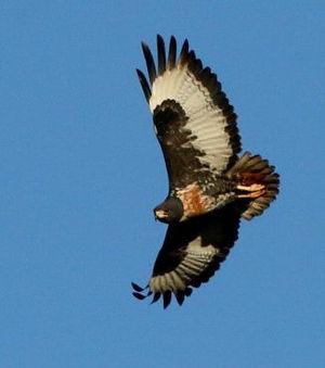 Jackal buzzard - Jackal Buzzard flying in Ithala Game Reserve