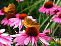 Butterfly-Feeding-Flower ForestWander.jpg