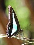 Butterfly 4 (30439207463).jpg