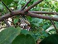 Butterfly in lemon tree.jpg