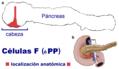 Células PP localización.png
