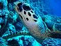 CIMG2928 Hawksbill Turtle, Woodhouse Reef (2693839316).jpg