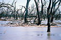 CSIRO ScienceImage 4110 Dead trees in the Barrenbox Swamp near Griffith NSW 1997.jpg