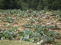 Cabbage field from Kanthalloor 6377.JPG