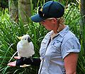 Cacatua galerita -Australia Zoo, Queensland -with zoo keeper-8a.jpg