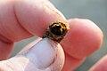 Caddisfly Larvae inside spun shell 2009.JPG