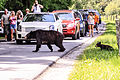 Cades Cove bear encounter.jpg