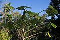 Caisimón de anis CF9A3112 Piper auritum.jpg