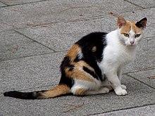 Un gatto calico o tartarugato