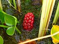 Calla palustris 3.JPG