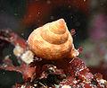 Calliostoma gloriosum 1.jpg