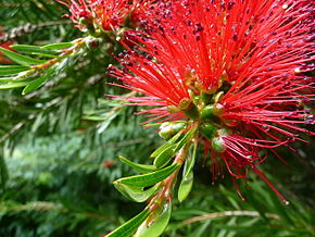 Description de l'image Callistemon-rigidus-02.JPG.