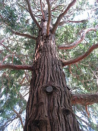 Calocedrus decurrens 01 by Line1.jpg