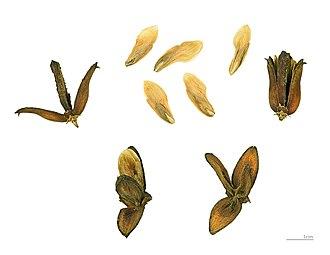 Calocedrus decurrens - Image: Calocedrus decurrens MHNT.BOT.2004.0.810