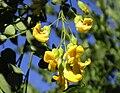Calpurnia aurea.jpg