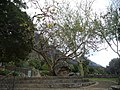 Calpurnia aurea - Kirstenbosch botanical garden - 1.jpg
