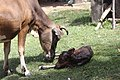 Calving in Laos (9 of 9).jpg