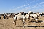 Camel market at Daraw, photo by Hatem Moushir 32.jpg