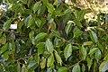 Camellia reticulata 03.jpg