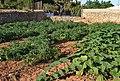 Camp amb tomaqueres i carabasseres, Gata de Gorgos.jpg