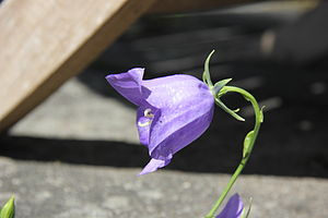 Campanula rotundifolia - Growing wild on a soil covered concrete slab