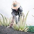 Campesino cortando hojas en Finca Ecológica de Lanzaloe.jpg