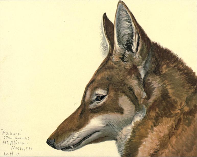 Canis simensis fuertes
