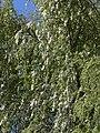Cape Willow (Salix mucronata) (32619594732).jpg