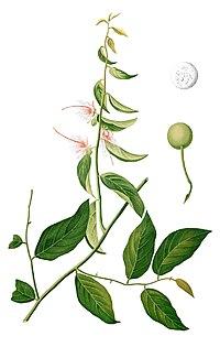 Capparis micracantha Blanco1.178-cropped