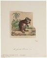 Capromys pilorides - 1700-1880 - Print - Iconographia Zoologica - Special Collections University of Amsterdam - UBA01 IZ20600125.tif