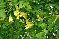 Caragana-arborescens-flowers