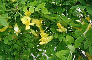 Caragana-arborescens-flowers.JPG