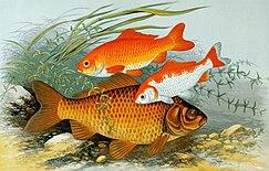 ปลาทองสายพันธุ์ดั้งเดิม