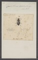 Cardiothorax - Print - Iconographia Zoologica - Special Collections University of Amsterdam - UBAINV0274 027 48 0002.tif