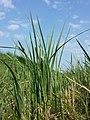 Carex acutiformis sl3.jpg