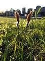 Carex caryophyllea sl36.jpg