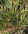 Carex elata plant (09).jpg