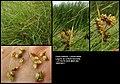 Carex extensa (0).jpg