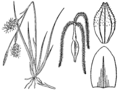 Carex richardsonii BB-1913-mod.png