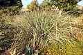 Carex spissa - San Luis Obispo Botanical Garden - DSC06029.JPG