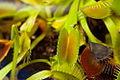 Carnivorous Plant Fly on Venus Flytrap FF2009 11 06.JPG