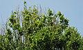 Carpinus betulus 'fastigiata' (upright European hornbeam) 3 (49080667378).jpg