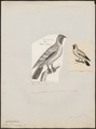 Carpophaga auricularis - 1700-1880 - Print - Iconographia Zoologica - Special Collections University of Amsterdam - UBA01 IZ15600143.tif