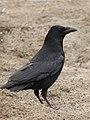 Carrion Crow (33462553).jpeg