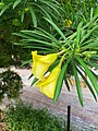 Cascabela thevetia flower 02.jpg