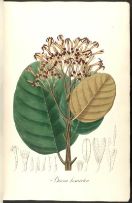 Cascarilla hexandra Pohl8c